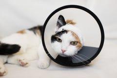 Gato adulto que veste um colar plástico do cone para protegê-lo de riscar a ferida em um fundo branco fotografia de stock royalty free