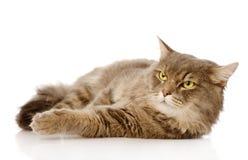 Gato adulto serio que mira lejos Aislado en el fondo blanco Imagen de archivo
