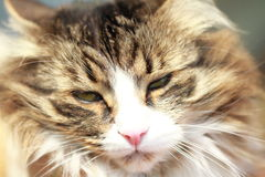 Gato adulto, versão marrom do gato siberian Imagem de Stock