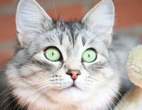 Gato adulto, versión de plata del gato siberiano Fotos de archivo libres de regalías
