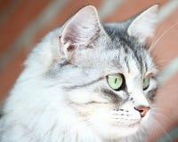 Gato adulto, versión de plata del gato siberiano Imágenes de archivo libres de regalías