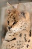 Gato africano del Serval Fotos de archivo libres de regalías