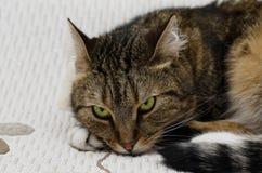 Gato agradable con los ojos verdes Foto de archivo libre de regalías