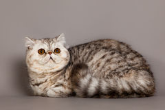 Gato agradable precioso en animal doméstico gris del gato persa del fondo Imagen de archivo libre de regalías