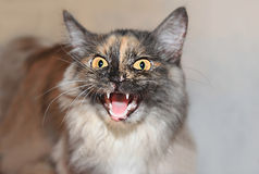 Gato agressivo Imagens de Stock Royalty Free
