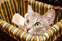 Gato ahumado que parece curioso Imágenes de archivo libres de regalías