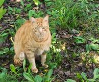 Gato alaranjado Fotos de Stock Royalty Free