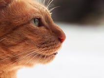 Gato alaranjado foto de stock