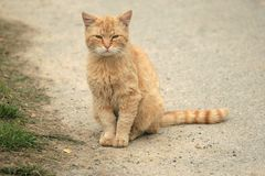 Gato alaranjado Imagens de Stock Royalty Free