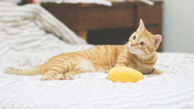 Gato alaranjado Imagem de Stock Royalty Free