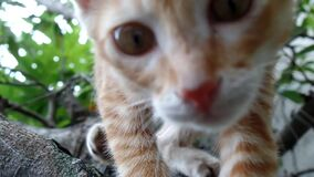 Gato alaranjado acima em uma árvore que joga sob os galhos Vinda perto video estoque