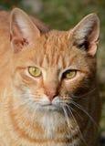 Gato alaranjado atento Imagem de Stock Royalty Free