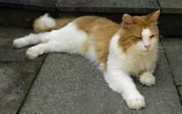 Gato alaranjado/branco que coloc fotografia de stock