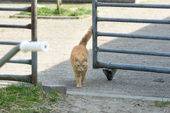 Gato alaranjado da exploração agrícola do gato malhado que anda através da grelha do cavalo Imagens de Stock