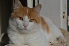 gato alaranjado e branco bonito com os olhos dourados que encontram-se para baixo olhando a câmera imagens de stock