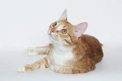 Gato alaranjado listrado doméstico no branco Fotografia de Stock