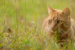 Gato alaranjado na grama verde Fotografia de Stock Royalty Free