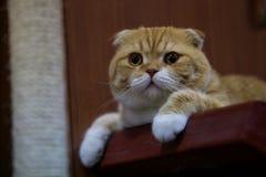 Gato alaranjado na tabela Fotos de Stock Royalty Free