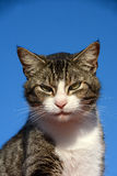 Gato alerta Imagens de Stock