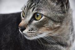 Gato alerta que olha para trás Foto de Stock Royalty Free