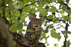Gato alto para arriba en la caza del árbol Fotos de archivo