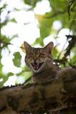 Gato alto para arriba en maullido del árbol Fotos de archivo libres de regalías