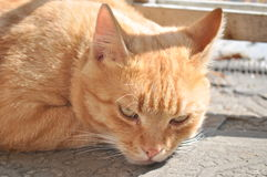 Gato amarelo fotografia de stock royalty free