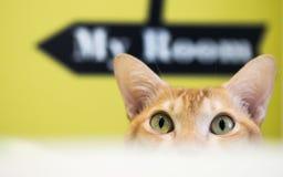 Gato amarelo Imagem de Stock Royalty Free