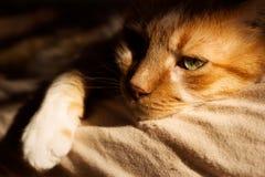 Gato amarelo que coloca no sol da manhã Imagem de Stock
