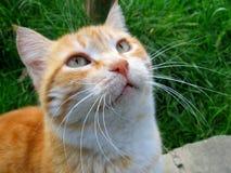 Gato amarillo Imagen de archivo libre de regalías