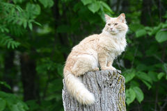 Gato amarillo claro que se sienta en un tocón de árbol Fotografía de archivo