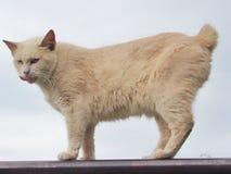 Gato amarillo de la cola cortada del americano imágenes de archivo libres de regalías