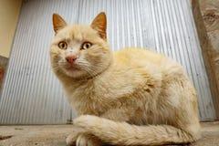 Gato amarillo delante de la puerta del hierro Imagen de archivo