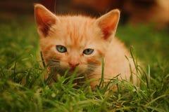 Gato amarillo Imagen de archivo