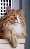 Gato amarillo lindo foto de archivo