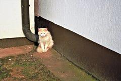Gato amarillo peligroso Fotos de archivo libres de regalías
