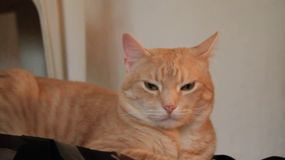 Gato amarillo soñoliento almacen de video