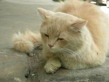 Gato amelocotonado Fotografía de archivo
