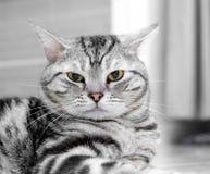 Gato americano de Shorthair Foto de Stock Royalty Free