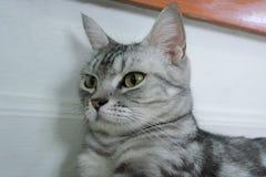 Gato americano de Shorthair Fotografia de Stock Royalty Free