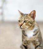 Gato americano de Shorthair imagens de stock