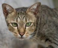Gato americano de Shorthair fotos de stock royalty free