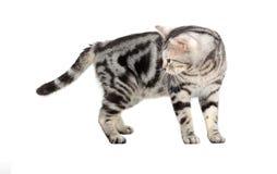 Gato americano de Shorthair Isolado no fundo branco com cópia s Imagens de Stock