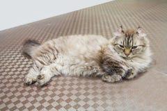 Gato americano del enrollamiento Fotos de archivo