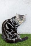 Gato americano del pelo corto que se sienta en césped artificial Fotos de archivo