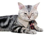 Gato americano do shorthair com gravata e fim seu olho isolate Fotografia de Stock
