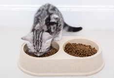 Gato americano do shothair que come o alimento Fundo branco isolado w do Imagem de Stock