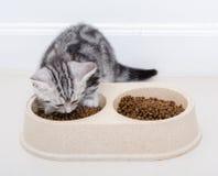 Gato americano do shothair que come o alimento Fundo branco isolado w do Imagens de Stock Royalty Free