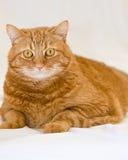 Gato anaranjado Fotos de archivo libres de regalías