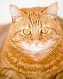 Gato anaranjado imagenes de archivo